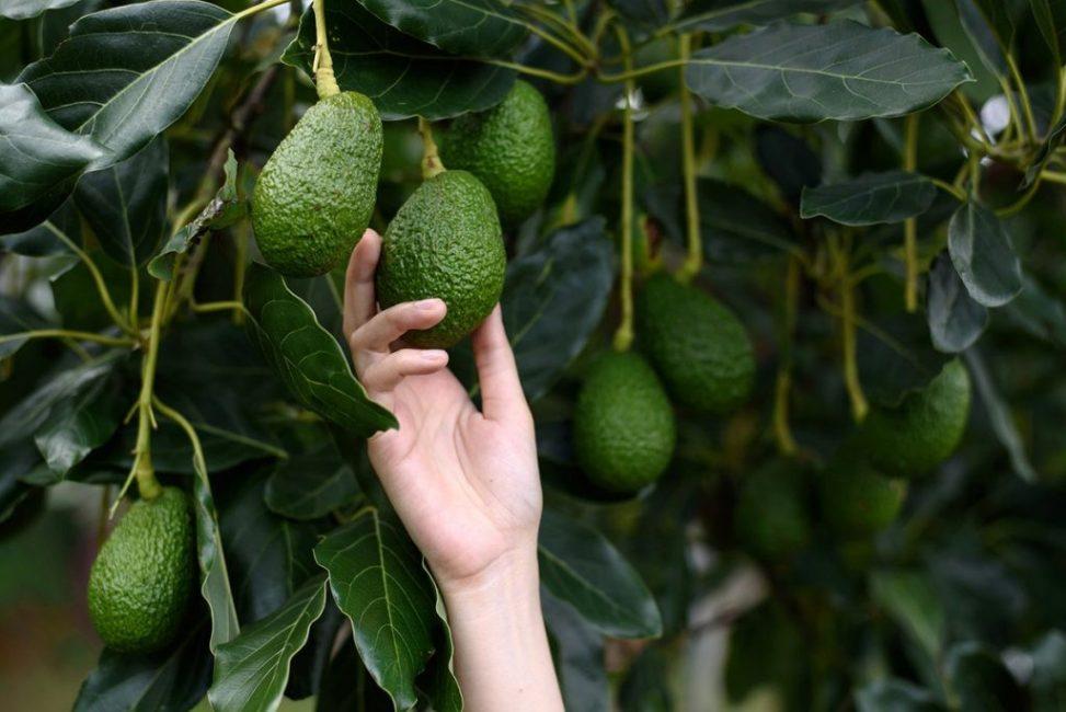 это на чем растут авокадо в картинках армхи приятно удивил
