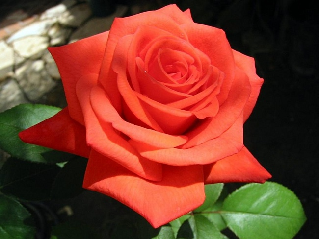 Коричневые розы описание и характеристики лучших сортов особенности