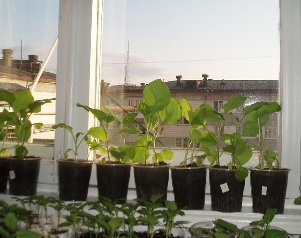 Условия выращивания рассады баклажан в домашних условиях