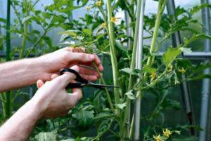 Как прищипывать помидоры, что это такое и зачем нужно
