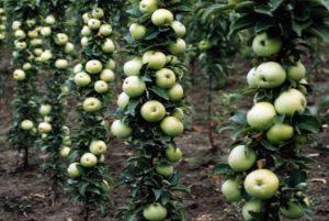 Колоновидная яблоня, выращивание, посадка и уход, на каком расстоянии сажать
