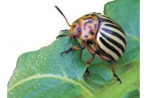 Колорадский жук, описание, особенности и среда обитания