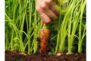 Лучшие сорта моркови для Подмосковья для посадки в открытый грунт