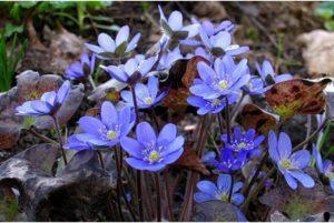 Печеночница, или Перелеска — один из самых оригинальных цветков