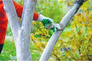 Побелка для деревьев. Рецепты, сроки и способы применения