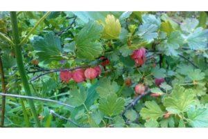 Почему на крыжовнике нет ягод, причины отсутствия плодов