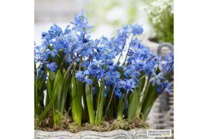 Цветок пролеска (Сцилла) посадка и выращивание растения в саду